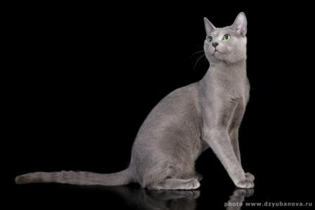 Питомник русских голубых кошек