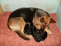 23-24 сентября наша немецкая овчарка Zara стала мамой!
