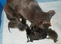 Наша Ксюша повторила рекорд Урсулы: 8 котят :)))