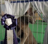 Патрик в Милане 6 октября стал лучшим короткошерстным котиком :)